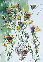 Red Admiral, Speckled Wood, Small Copper and Meadow Brown studies