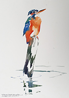 Female Kingfisher study