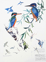 Kingfishers and displaying Sparrowhawk
