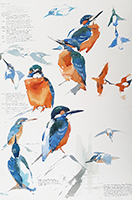 Male and intruding male Kingfisher studies