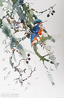 Male Kingfisher and pellet