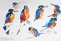 Male Kingfisher postures in early morning glow I