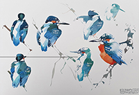 Preening Male Kingfisher studies