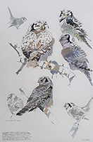 Adult and young Hawk Owl shapes